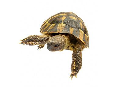 Šumska kornjača