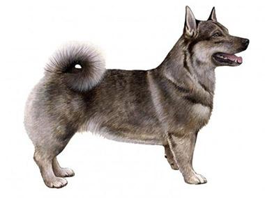 Švedski pastirski pas