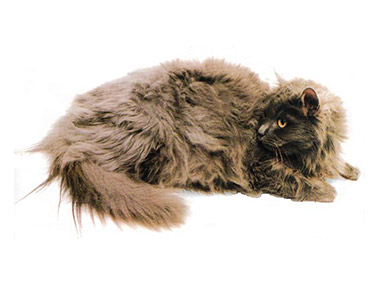 Tifani mačka
