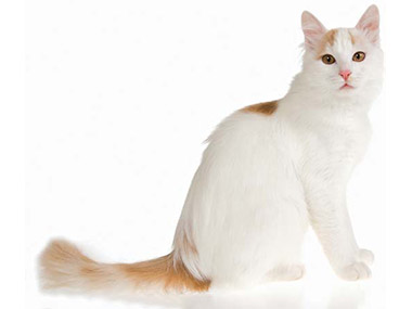 Turska Van mačka