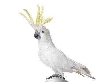 Veliki žutoćubi kakadu