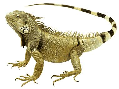 Zelena Iguana