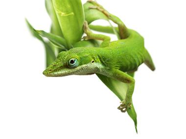 Zeleni anolis – Zelena anola