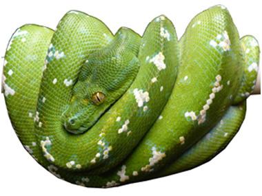 Zeleni piton